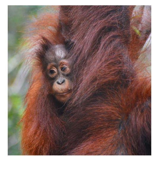 mission d'écovolontariat pour l'orang outan à Bornéo