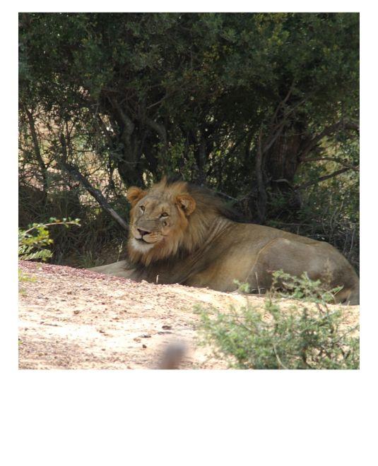 Lion en Afrique du Sud