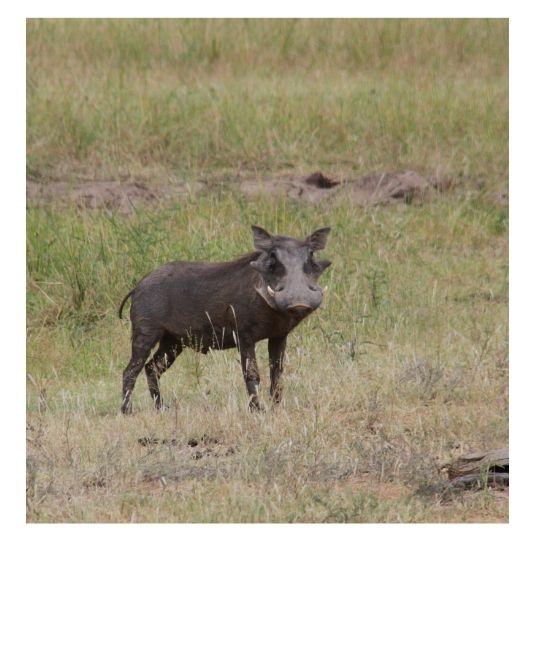 Phacochère en Afrique du Sud