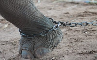 Les maltraitances qui pèsent sur l'éléphant d'Asie