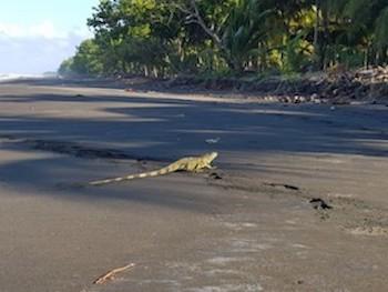 iguane au Costa Rica